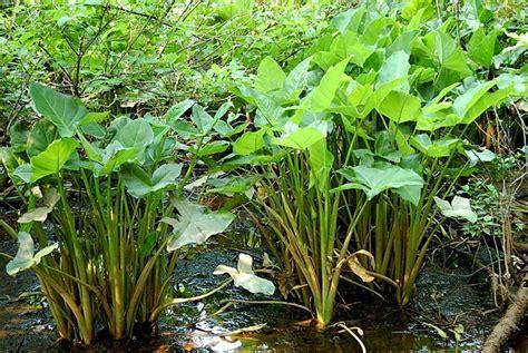 piante acquatiche da appartamento piante palustri piante acquatiche tipologie di piante