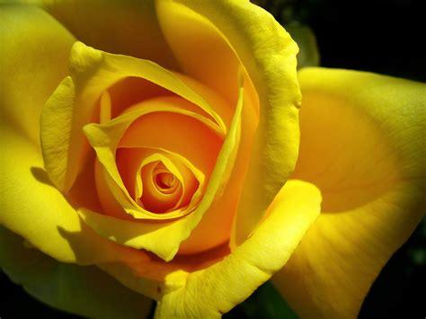 imagenes rosas amarillas rosas amarillas hd fondoswiki com