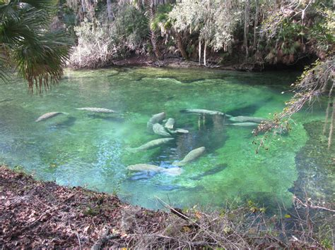 boating accident yellowstone river florida s marvelous manatees around and about with viv