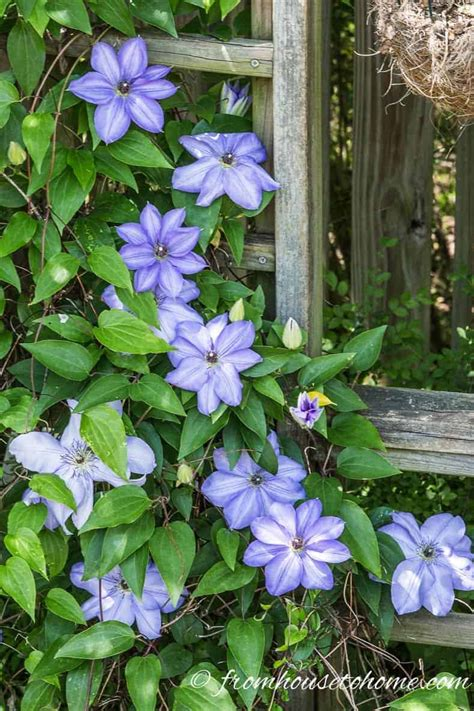Pflege Clematis by Clematis Care The Ultimate Guide To Growing And Pruning