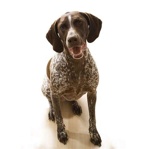 alimentazione bracco tedesco da ferma tedesco a pelo corto scheda razza su cani it