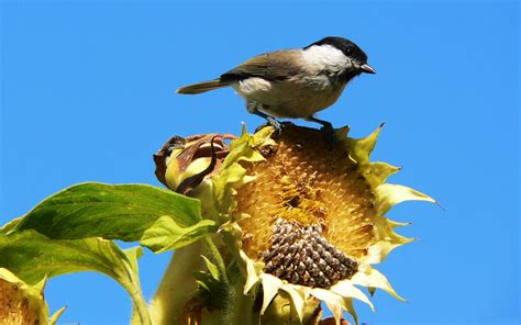 sunflower seeds wallpaper 778102