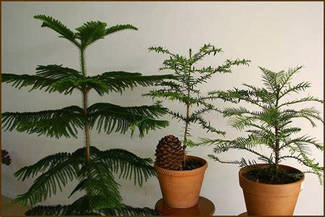 growing  caring  norfolk island pine