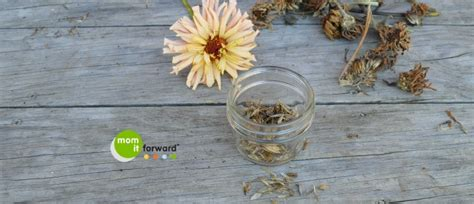 how to save zinnia seeds mom it forwardmom it forward