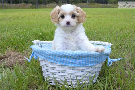 cavachon puppies florida cavachon puppy for sale near sarasota bradenton florida b35b626d 1a01
