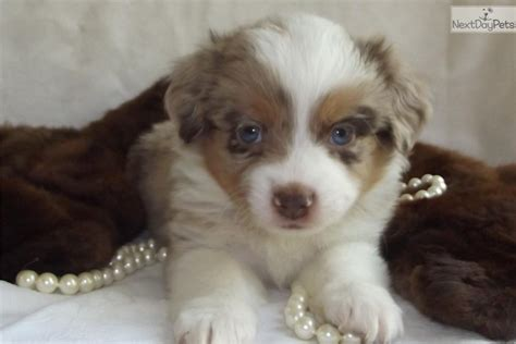 australian shepherd puppies for sale in nc miniature australian shepherd puppy for sale near asheville carolina 094adf61