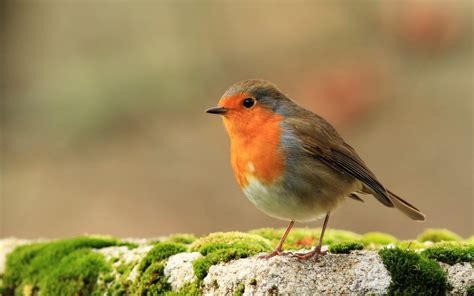 3 hd robin bird wallpapers hdwallsource com