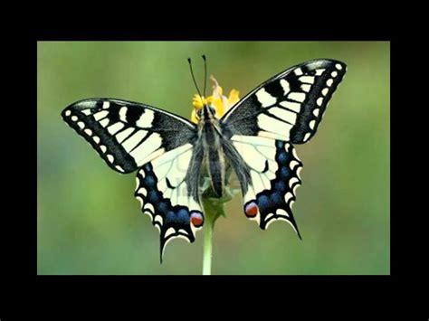 imagenes de mariposas de verdad reales mariposas 2 youtube
