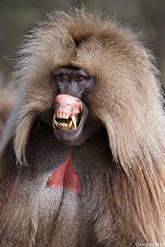gelada images baboon primates animals