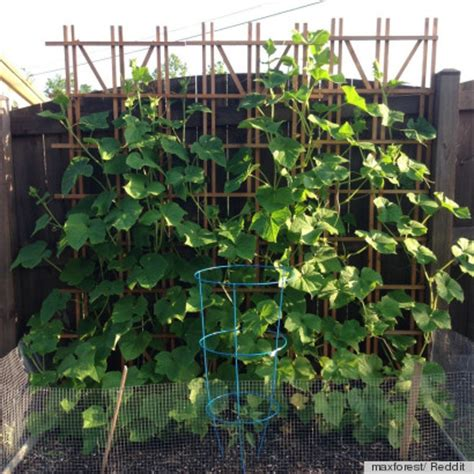 Growing Vegetables In A Small Garden Small Space Gardening Idea Uses A Trellis To Grow