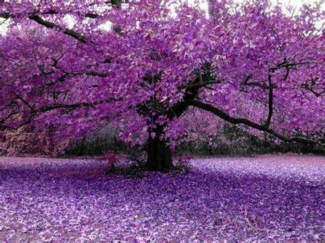 lavender tree garden pinterest trees and lavender