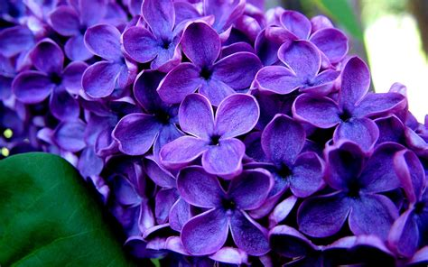 lilacs auntie dogmas garden spot