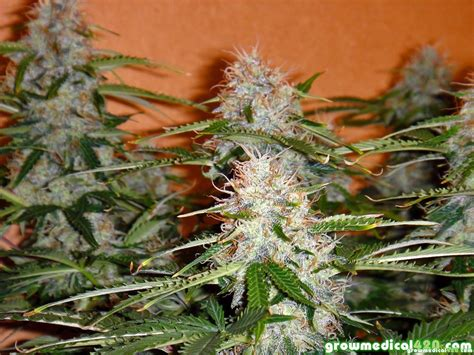 Northern Lights Gardening by Northern Light Autoflower Harvest Review Growing