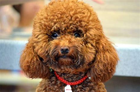 lifespan of yorkie poodle the 10 best teacup breeds