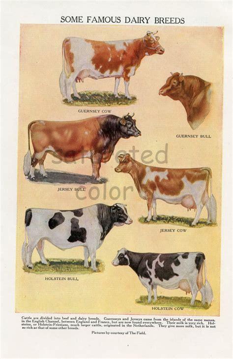 major breeds major dairy cow breeds
