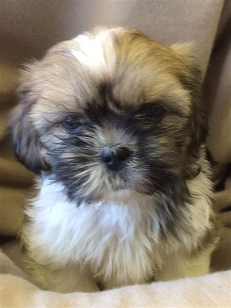 shih tzu puppies for sale in ms shih tzu puppy breeder shih tzus puppies for sale shihpoo puppy breeds picture