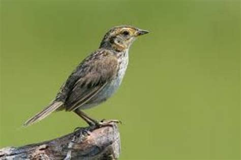 10 interesting sparrow facts my interesting facts