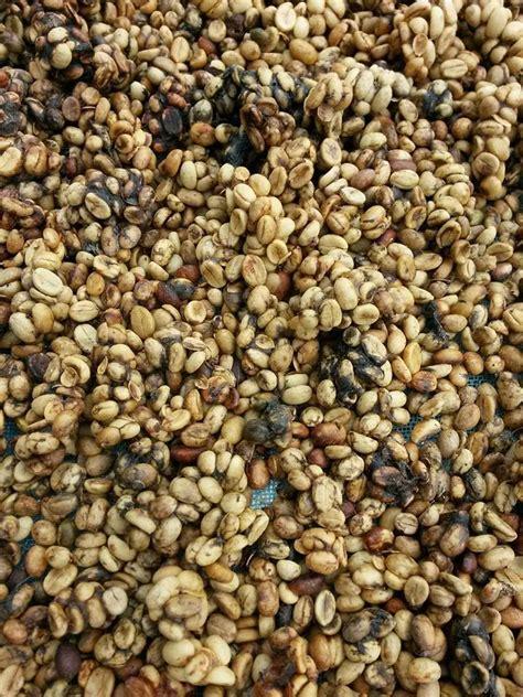 Kopi Coffee Bean kopi luwak 50 g real roasted arabica coffee beans from thailand coffee beans