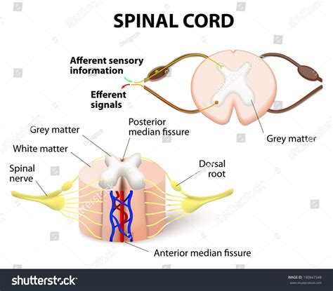 spinal nerve cross section crosssection spinal cord central nervous system stock