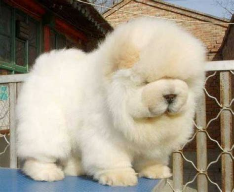 fluffiest puppies the fluffiest dogs you will see