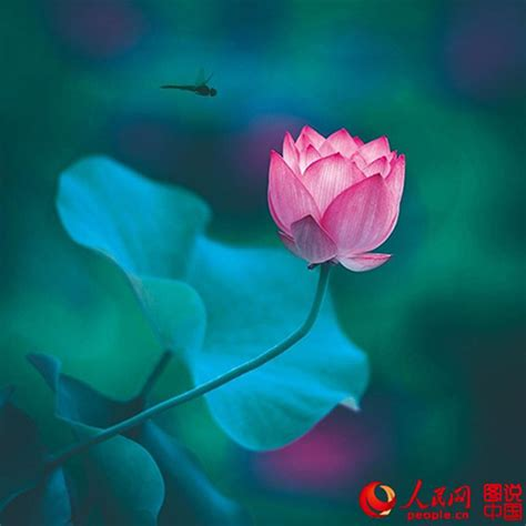 lotus in china portraits of lotus in china global times