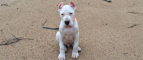 free dogo argentino puppies dogo argentino puppies for sale toronto wroc awski informator internetowy wroc aw