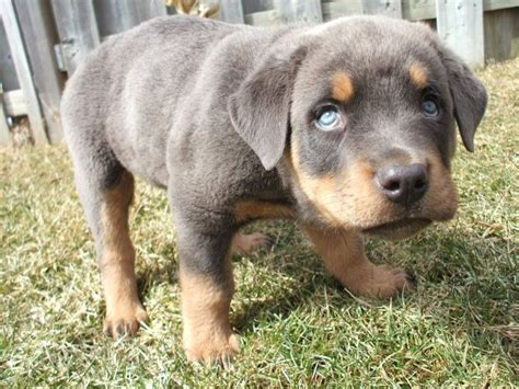 rottweiler with blue rottweiler puppy w blue awesome all things rottie beautiful