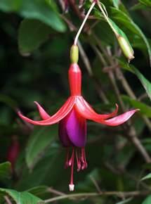 Fuchia by File Fuchsia Magellanica Tas Jpg Wikipedia