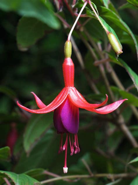 file fuchsia magellanica tas jpg wikipedia