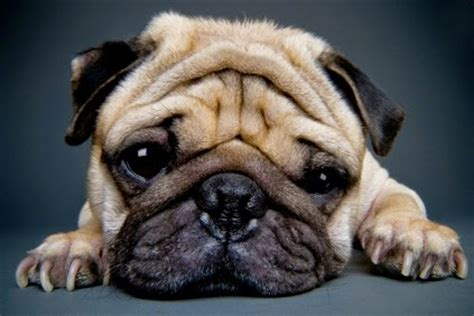 everything about pugs everything about your pug my dogs