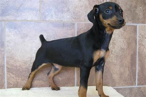 mini pin puppies miniature pinscher puppies for sale bazar
