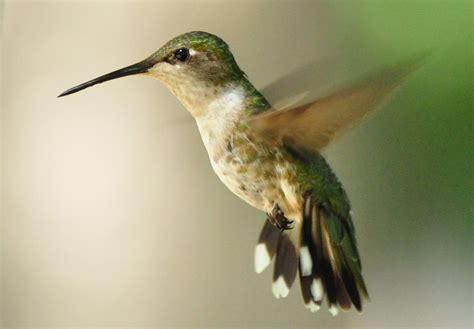 hummingbirds move through iowa iowa wildlife blog
