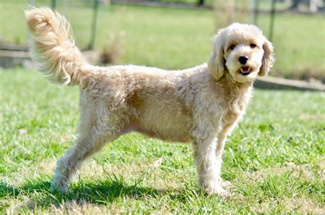 beard optionms for poodles goldendoodle grooming archives timberidge goldendoodles