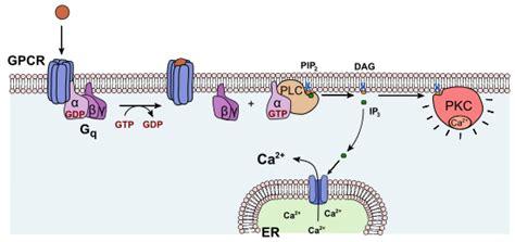 c protein kinase proteinkinase c