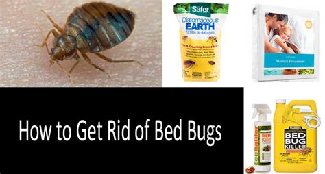 how to get rid of bed bug how to get rid of bed bugs