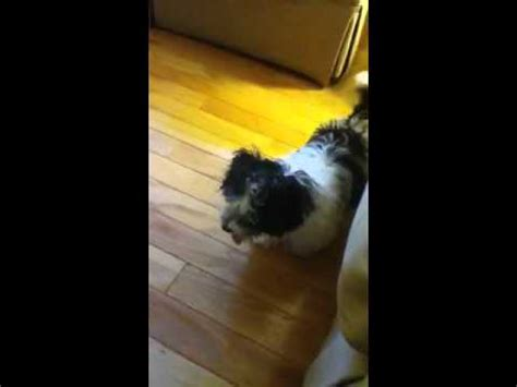 how to a havanese not to bark everything you need to about havanese dogs behaviours characteristics and more