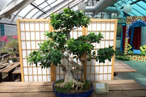 Ficus Benjamin Come Curarlo by Come Curare Un Bonsai Di Ficus Retusa Fare Bonsai Come
