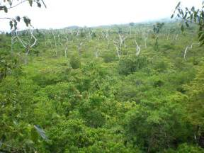 Forest Canopy File View From The Top Falealupo Rainforest Canopy