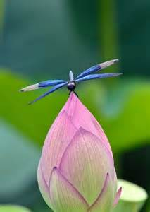 Lotus Flower And Dragonfly Lotus Bud And Dragonfly Beautiful Butterflies