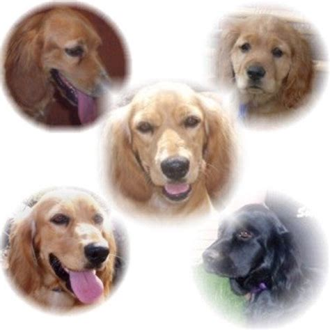 how much is a golden cocker retriever golden cocker retriever breed information and pictures