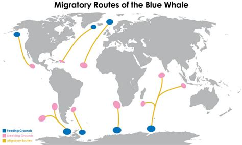 Migration Pattern Of Blue Whale   10 facts about blue whales that will leave you speechless