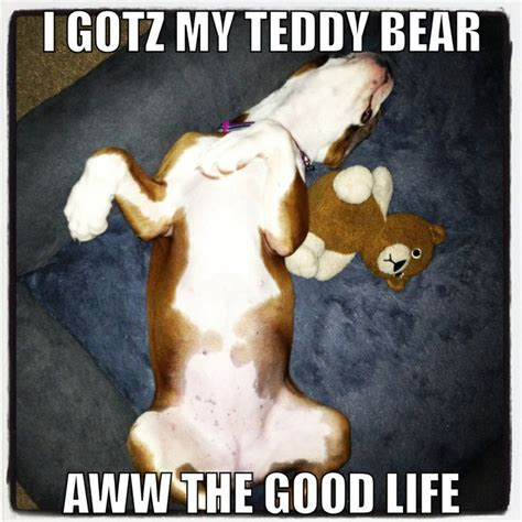 the gallery for gt white boxer dog memes
