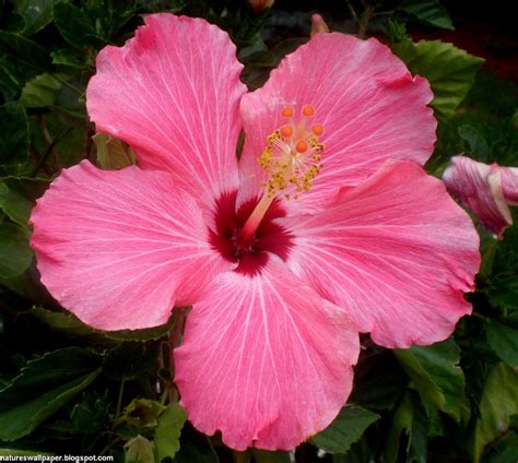 pictures of flowers hibiscus flower wallpaper free download hibiscus flower