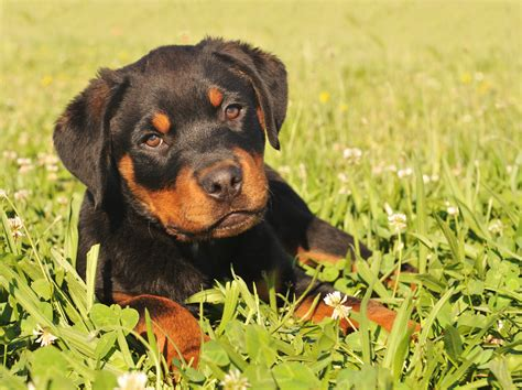 best food for a rottweiler puppy top 10 misconceptions about rottweilers animalso