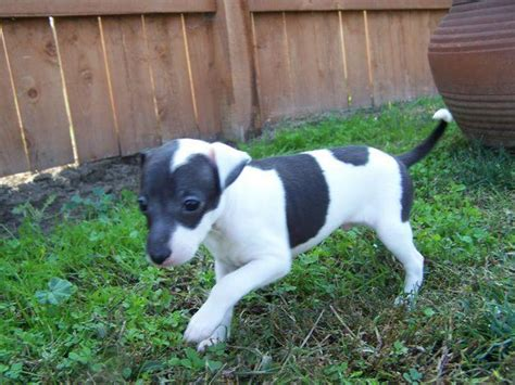miniature italian greyhound puppies for sale miniature italian greyhound puppies for sale in florida breeds picture
