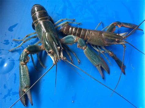 backyard crawfish farming backyard crawfish farming 17 best images about raising