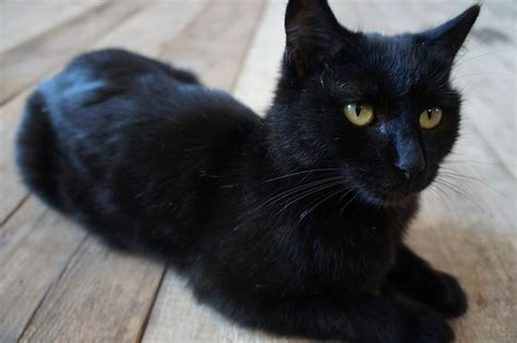 free photo the cat is black cats pet free image on pixabay 2893170