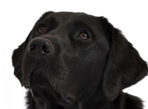 lab x golden retriever breed focus labrador cross golden retriever dogs for