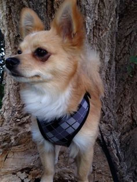 golden retriever chions chion a mix between a chihuahua and a papillon so and precious