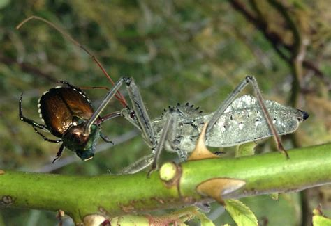what eats bed bugs wheel bug eats japanese beetle what s that bug